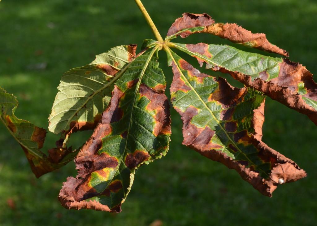 Die Mindermotte hinterlässt sichtbare Schäden and en Blättern der Kastanien (Quelle: Wikipedia)