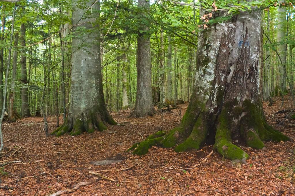 Urwaldgebiet Mittelsteighütte, Bergmischwald, Gemeine Fichte (Picea abies), Rotbuche (Fagus sylvatica)