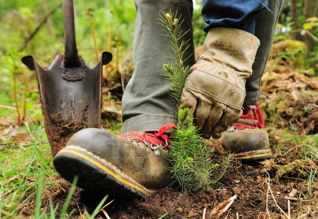 Pflanzung von Nadelbaum.pflanzen.Hohlbohrer.Forstwirt.Hand.Nadelbaum.jung.Pflanze.Bestandesbegründung.Schaufel.Loch.