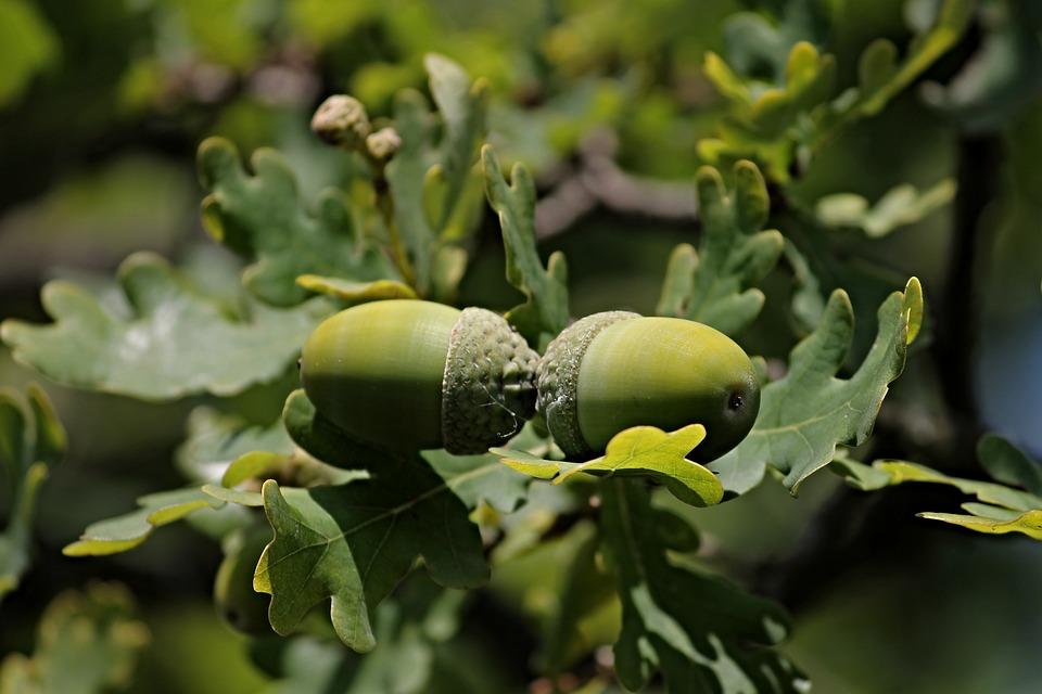 acorns-2715209_960_720