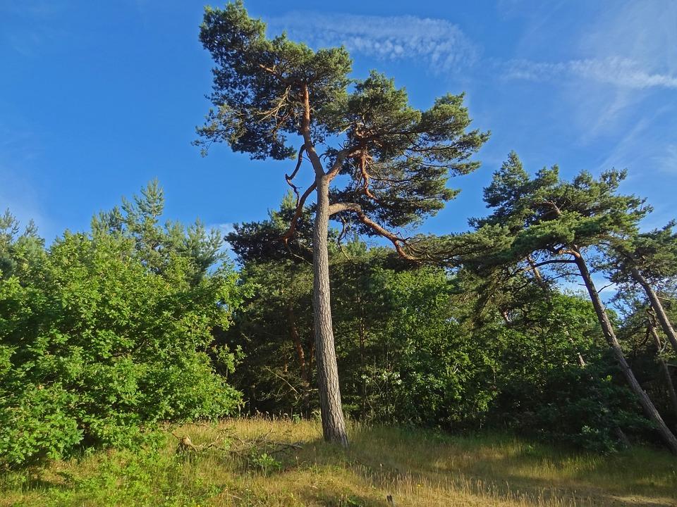 pine-567687_960_720