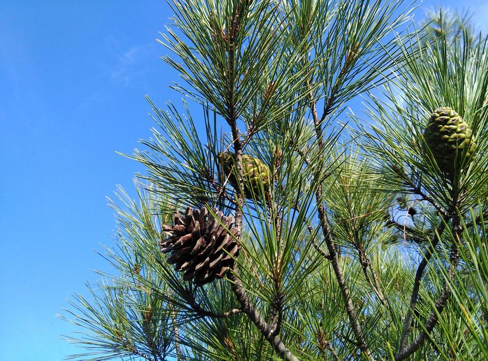 pine-579287_960_720