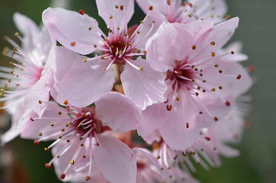japanese-cherry-blossom-106018_960_720